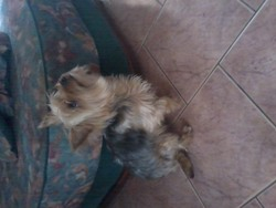 Fripouille, chien Yorkshire Terrier