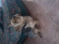 Fripouille, chien Yorkshire Terrier