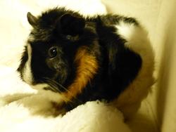 Fripouille, rongeur Cochon d'Inde