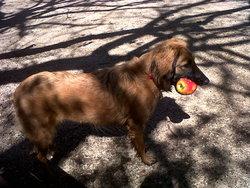 Fripouille, chien Griffon fauve de Bretagne