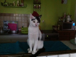 Fripouille, chat Exotic