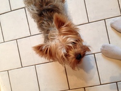 Fripouille , chien Yorkshire Terrier