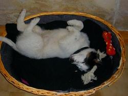 Fripouille, chien Border Collie