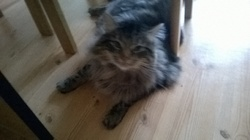 Fripouille, chat Maine Coon