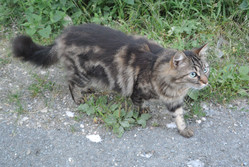 Fripouille, chat Angora turc