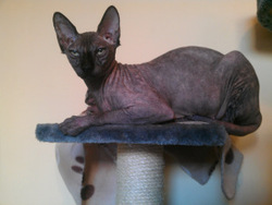 Fripouille, chat Sphynx