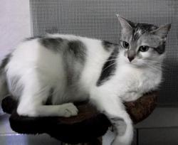 Fripouille, chat Européen