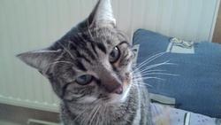 Fripounett', chat Européen