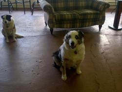 Frisbee, chien Berger australien