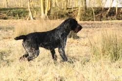 Frisbee Du Marais De Saintonge, chien Braque allemand à poil dur