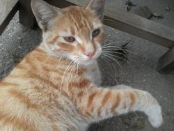 Friscette, chat Ocicat