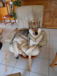 Frischka, chien Chien-loup tchèque