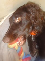Friska, chien