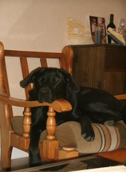 Friska, chien Beauceron