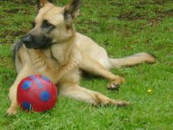 Friska, chien Berger allemand