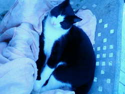Friskas, chat Gouttière