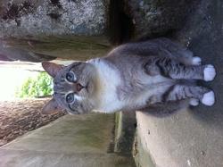 Friskette, chat Européen