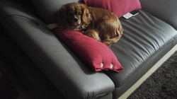 Friskette, chien Cavalier King Charles Spaniel