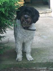 Frisky, chien Bichon à poil frisé