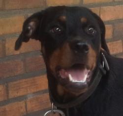 Frisky, chien Rottweiler