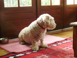 Frisquette, chien West Highland White Terrier