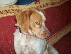 Frisson, chien Épagneul breton