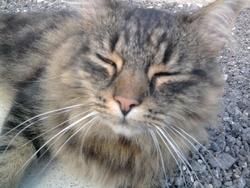 Frisson, chat Européen