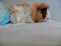 Frisson, rongeur Cochon d'Inde