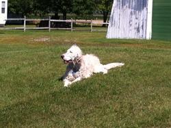 Fritz, chien Setter anglais