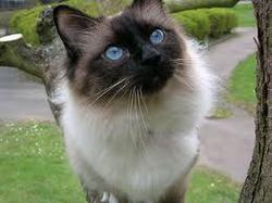 Frizon, chat Birman