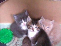 Frodon, Gandalf Et Gimli, chat Européen