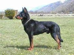 Frody, chien Beauceron