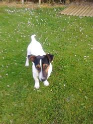 Frog, chien Jack Russell Terrier