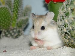 Fripounette, rongeur Hamster