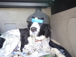 Frosty, chien Springer anglais