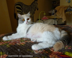 Frou Frou, chat British Shorthair