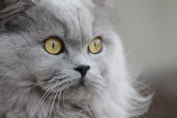 Frou-Frou, chat British Shorthair