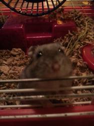 Frozen, rongeur Hamster