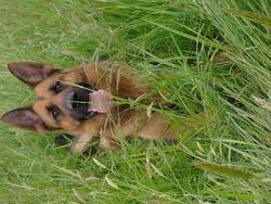 Fruka , chien Berger allemand