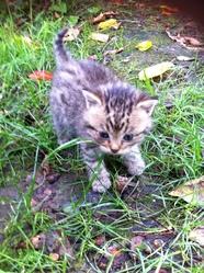 Fryska, chat Gouttière