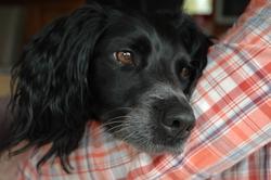 Fryzbee, chien Épagneul breton