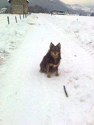 Fudge, chien Chien finnois de Laponie