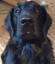 Fudji, chien Flat-Coated Retriever