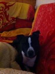 Fuego, chien Staffordshire Bull Terrier