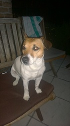 Fuego, chien Jack Russell Terrier