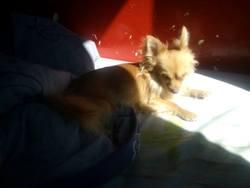 Fuego, chien Chihuahua