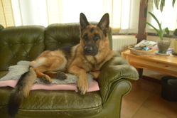 Fughy, chien Berger allemand