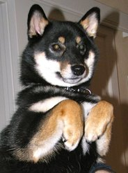 Fujin'dixie Of Inivruk Dit Dixie, chien Shiba Inu
