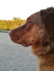Fujin, chien Berger belge