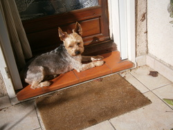 Fuky, chien Yorkshire Terrier